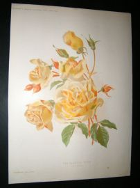 Amateur Gardening 1895 Botanical Print. Tea-Scented Rose